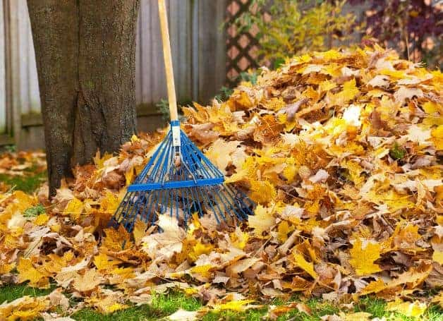 The Old-School Method Using a Rake to Collect Leaves