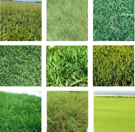 (image of several different grass types)